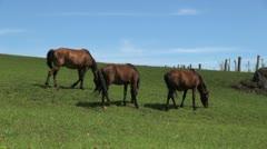 Easter Island Puna Pau horses graze on slope 2 Stock Footage