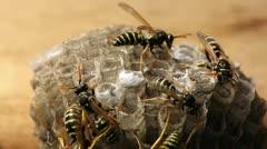 Macro of wasp (Hymenoptera), timelapse Stock Footage