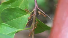 Weaver Ants on a Leaf Stock Footage