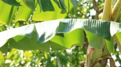 Banana tree Stock Footage