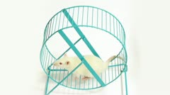 Rat on Exercise Wheel (HD) Stock Footage
