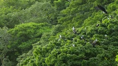 Group of Frigate birds perched on treetops Stock Footage