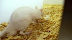 Maze Pink Rat Sequence (HD) - stock footage