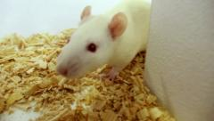 Maze White Rat Sequence (HD) - stock footage