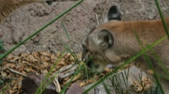 Two Mountain Lions Stock Footage