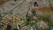 Stock Video Footage of Two Mountain Lions