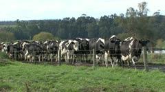 Herd of dairy cows walking towards feeding pens Stock Footage