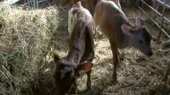 2 week old calves inside pens in barn Stock Footage