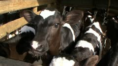2 week old calves in exterior pen Stock Footage