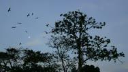 Flock of Frigate birds flying overhead Stock Footage