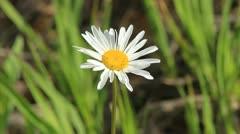 Daisy Flower sways in breeze ECU Stock Footage