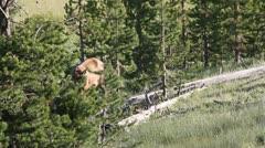 Elk cow grazes in trees & lifts head Stock Footage