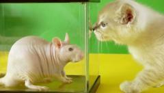 Rat vs Kitten (HD) Stock Footage