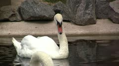 White Swan - stock footage