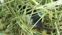 Rat and Her Children Stock Footage