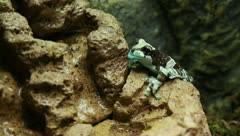 Milk tree frog Stock Footage