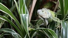 Green Iguana - stock footage