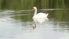 Swan Stock Footage