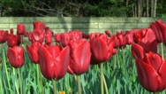 Close up of red Tulips Stock Footage