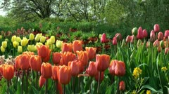 Tulips in the garden - stock footage