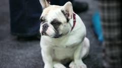 puppy  french bulldog - stock footage