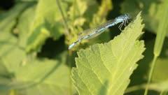 Male Common Blue Damselfly / Enallagma cyathigerum Stock Footage