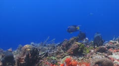 Angelfish, Queen Triggerfish on coral reef Stock Footage
