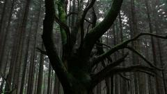 Sweet chestnut tree in sitka spruce forest Stock Footage