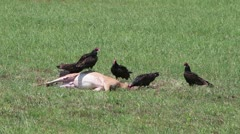 Buzzards pick apart a deer carcass in a field Stock Footage