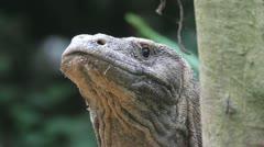 Komodo dragon Stock Footage