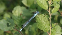 Common Blue Damselfly Dragonfly, Enallagma cyathigerum Stock Footage