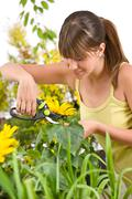 gardening - woman cutting sunflower with pruning shears - stock photo