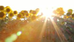 Sunflower in motion - stock footage