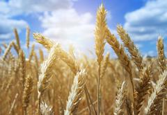 Close up ear of wheat with blue sky background Stock Photos