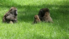 A Wild Family of Olive Baboons (Papio anubis) Socialize in Kenya, Africa. Stock Footage