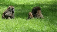 Stock Video Footage of A Wild Family of Olive Baboons (Papio anubis) Socialize in Kenya, Africa.