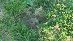 Stock Video Footage of Active Gopher around hole.