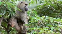 A Wild Olive Baboon (Papio anubis) Perches in a Tree in Kenya, Africa. Stock Footage