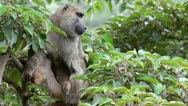Stock Video Footage of A Wild Olive Baboon (Papio anubis) Perches in a Tree in Kenya, Africa.