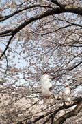 White paper lanterns amongst cherry blossom in Tokyo Stock Photos