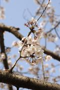 Cherry blossom close-up. - stock photo