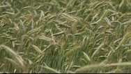 Stock Video Footage of Rye stems in wind.