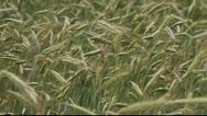Rye stems in wind. Stock Footage