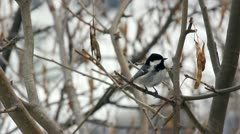Coal Tit (Periparus ater) singing on a branch of golden chain in early spring - stock footage