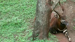 The Eastern or Mountain Bongo Rests Behind a Tree in Kenya, Africa - stock footage