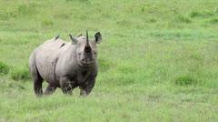 The Critically Endangered Black Rhinoceros at Lake Nakuru, Kenya, Africa. - stock footage