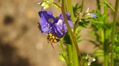 Bee and flowers Stock Footage