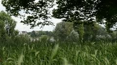 nature blowing wind cornfield - stock footage