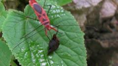 Rhopalid Bug Corizus Hyoscyami Stock Footage