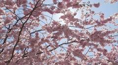 Flowering cherry-trees, Stockholm - stock footage